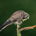 Next Step Of The Young European Kestrel by Torbjorn Swenelius