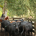 Nick Loading Cattle by Diane Bohna