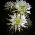 Night Bloomers 4.21 by Veronika Countryman