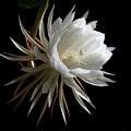 Night-blooming Cereus 1 by Warren Sarle