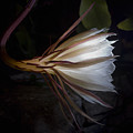Night Blooming Cereus by David Stone