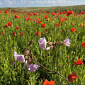 Night Flowering Catchfly And Poppies by Terri Waters