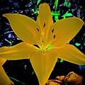 Night Glow Lily by Tim G Ross