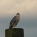 Night Heron At Sundown by Margie Avellino