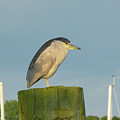 Night Heron At The Dock by Margie Avellino
