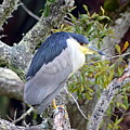 Night Heron by Carla Parris