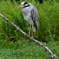 Night Heron On Slim Branch by Paula Ponath