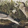 Night Heron Or Qua Bird by John James Audubon