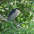 Night Heron by Rachel Roushey