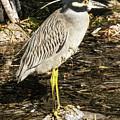 Night Heron Standing On A Rock In Key West by Bob Slitzan
