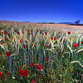 Night Poppies by Guido Montanes Castillo