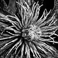 Niobe Clematis Study In Black And White by Jennifer Mitchell
