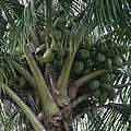 Niu Ola Hiki Coconut Palm by Sharon Mau
