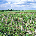 No-till Soybean Field by Inga Spence