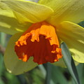 Nodding Daffodil by Lea Novak