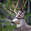 Non-typical Mule Deer Buck Portrait. by Daryl L Hunter