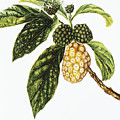 Noni Fruit Art by Hawaiian Legacy Archive - Printscapes