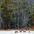 Nooksack Herd by Brian O'Kelly
