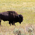 North American Bison- Buffalo In Field  by Thomas Baker