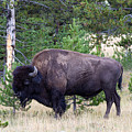 North American Buffalo Grazing Near Edge Of Woods During Late Su by Thomas Baker