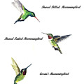 North American Hummingbirds by Michael Vigliotti