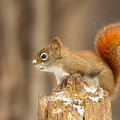 North American Red Squirrel In Winter by Mircea Costina Photography