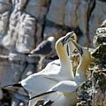 North Atlantic Gannets by Bob Kemp