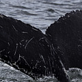 North Atlantic Humpback by Pete Federico
