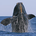 North Atlantic Right Whale Breaching by Tony Beck