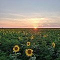 North Fork Sunflowers 1 by Rob Hans