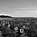 North Fork Sunflowers 2 B W by Rob Hans