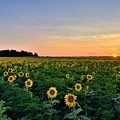 North Fork Sunflowers 2 by Rob Hans