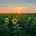 North Fork Sunflowers by Rob Hans