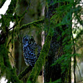 Northern Barred Owl In The Woods by Sharon Talson