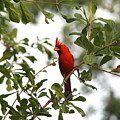 Northern Cardinal - In The Wind by Travis Truelove