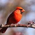 Northern Cardinal by Bruce J Robinson