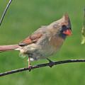 Northern Cardinal -female by Raju Alagawadi