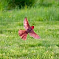 Northern Cardinal In Flight by Jan M Holden