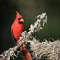 Northern Cardinal In Repose by JG Thompson