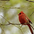 Northern Cardinal by Michael Peychich