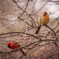 Northern Cardinal Pair In Spring by Terry DeLuco
