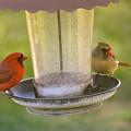 Northern Cardinal Pair by Rima Biswas