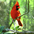 Northern Cardinal Proud Bird by Herbert L Fields Jr