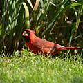 Northern Cardinal by Shelley Smith