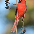 Northern Cardinal With Berry by Alan Lenk