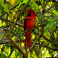 Northern Cardinal Work Number Two by David Lee Thompson