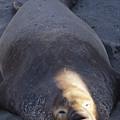 Northern Elephant Seal by Soli Deo Gloria Wilderness And Wildlife Photography
