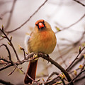 Northern Female Cardinal Pose by Terry DeLuco