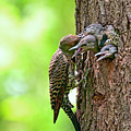 Northern Flicker Family by Sharon Talson