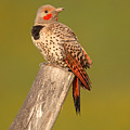 Northern Flicker Looking Back by Max Allen